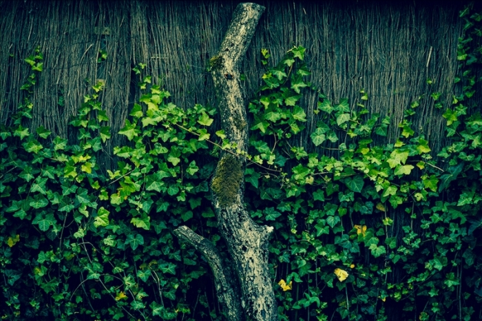 Fresh green ivy climbing an old fence